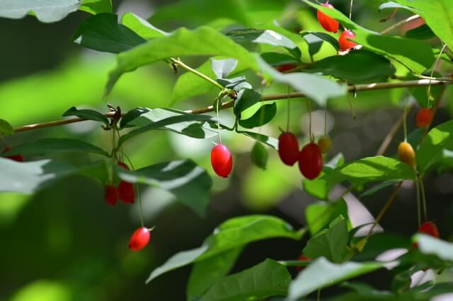 食べられる赤い実、食べられない赤い実   かぜのーと   軽井沢風越学園